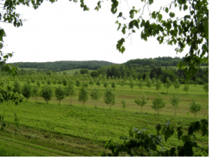 Intercropping: Fast growing trees and Annual crops