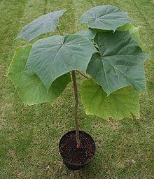 P. Elongata Seedling